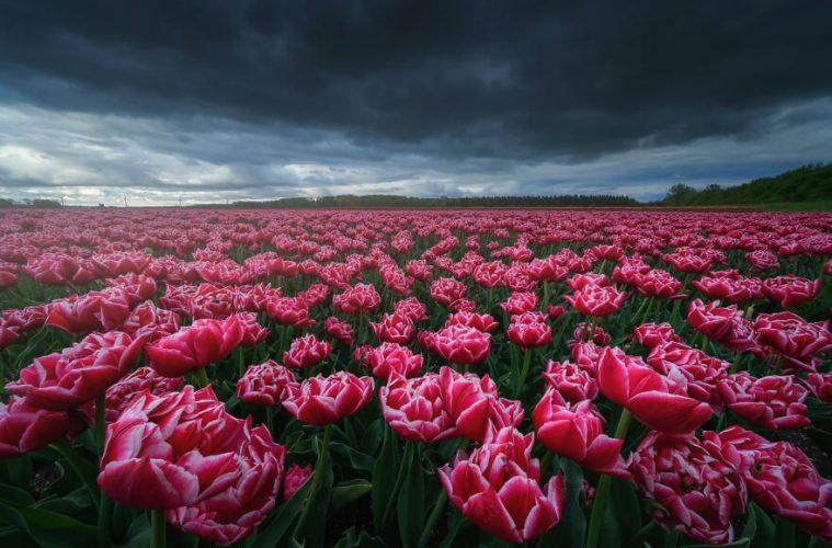 Тюльпаны в Нидерландах