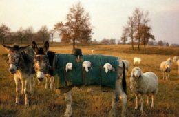 ослы везут ягнят
